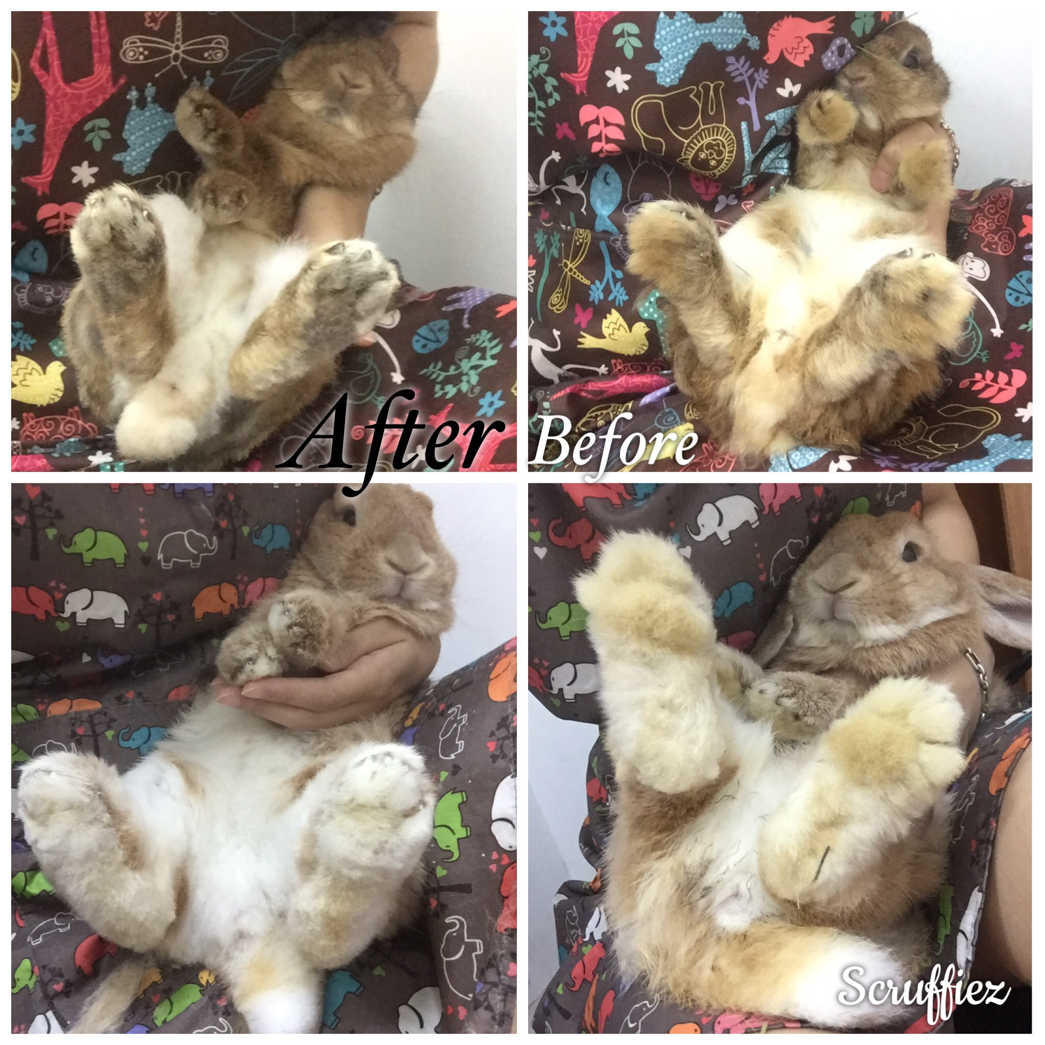Holland Lop Grooming