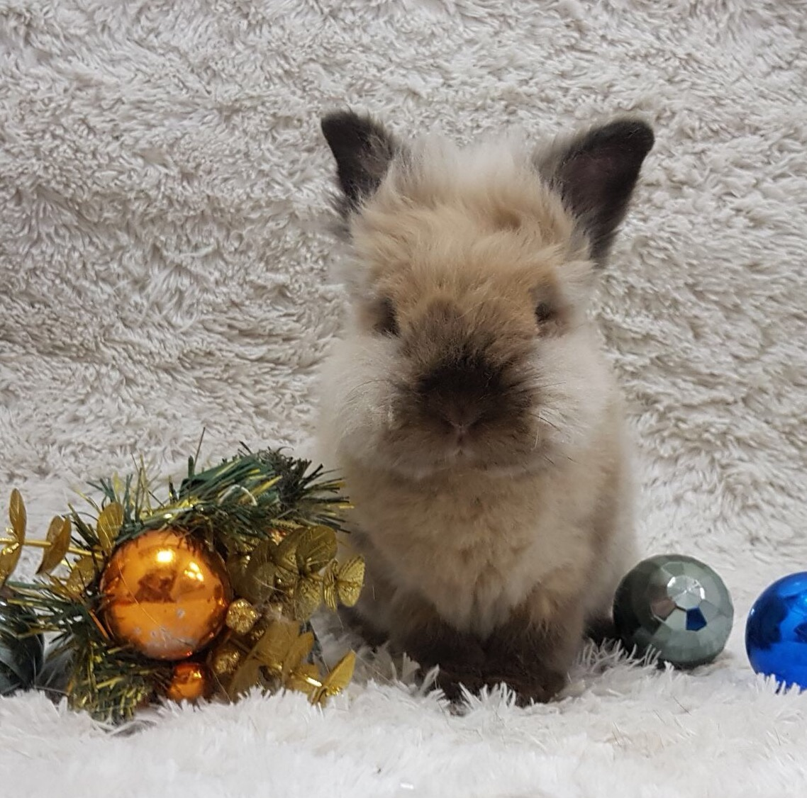 Lionhead Rabbit after Grooming