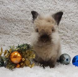 Lionhead Rabbit after Grooming