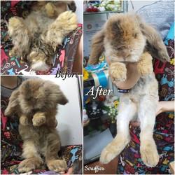 Lionhead Lop Long Hair Grooming