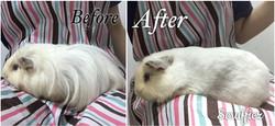 Sheltie Pig grooming