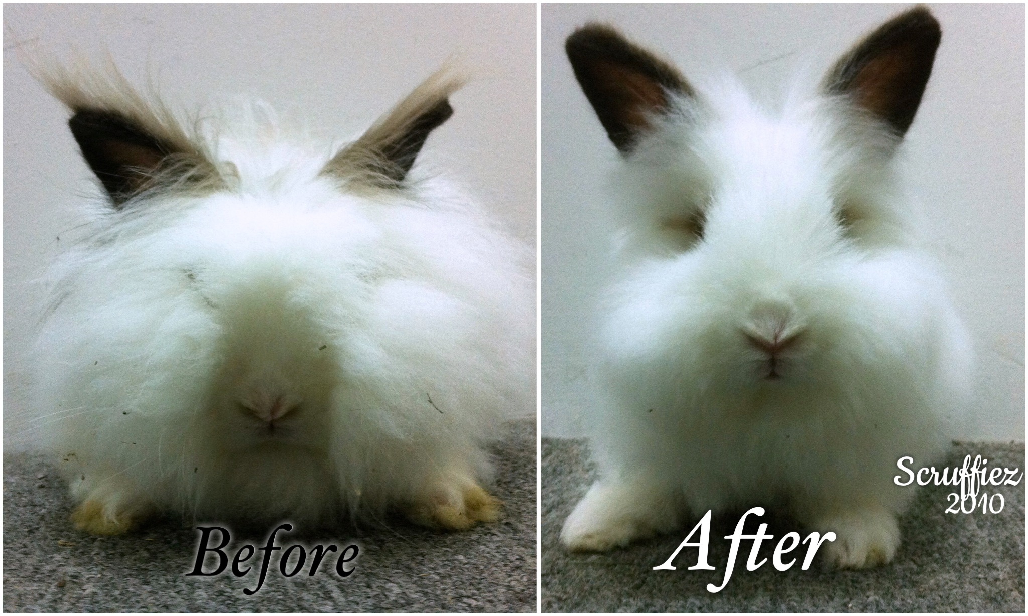 Angora Rabbit after Grooming