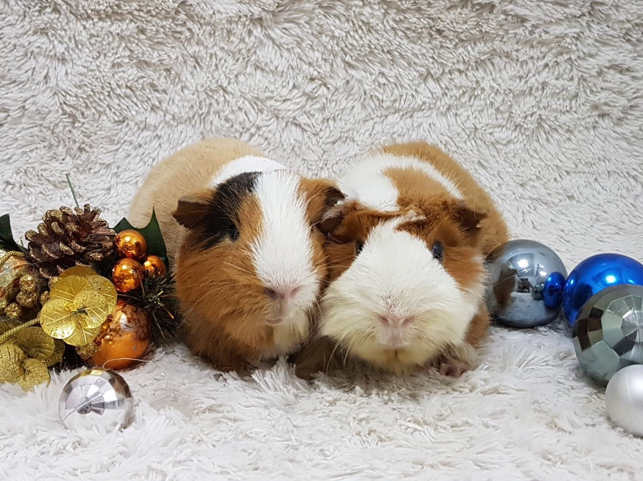Guinea Pig after Grooming