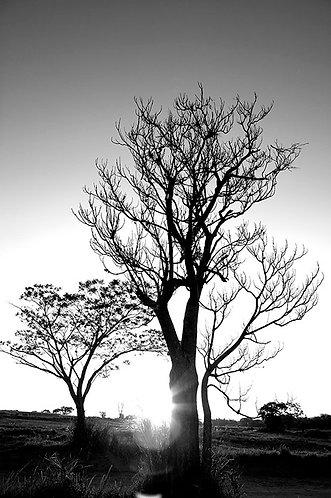 Árvores do campo