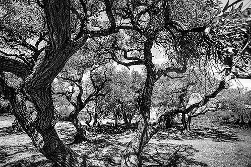Árvores em Preto e Branco