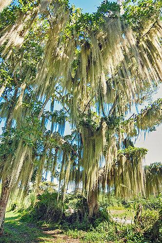 Árvore de sonho