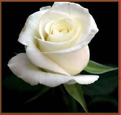 kensflowercafe.com-white-rose-same-day-delivery