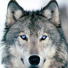 Shaman Wolf