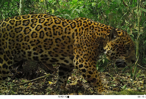 Yaguareté (Panthera onca), Parque Nacional Baritú.