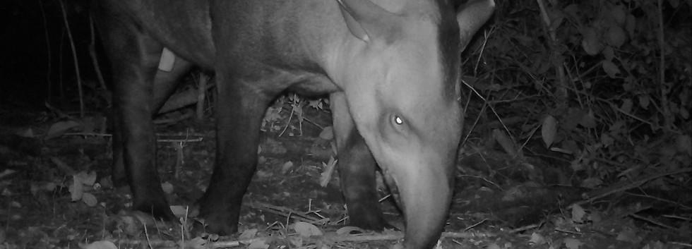 Tapirus terrestris, Finca Yuchán.