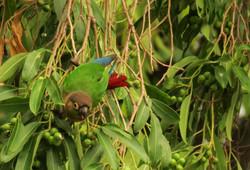 Chiripepé (Pyrrhura molinae) alimentandose de frutos de una especie exótica.