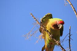 Gucamayo verde