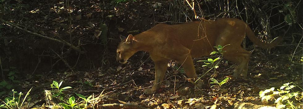 Puma concolor, Parque Nacional Calilegua