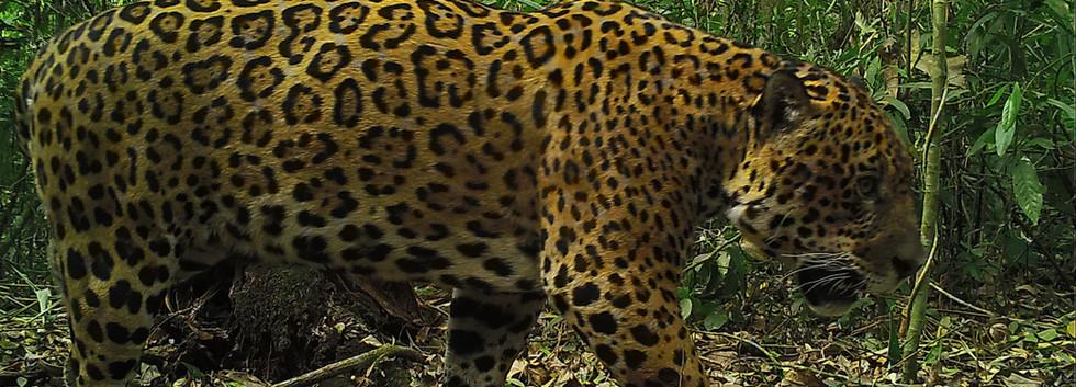 Panthera onca, Parque Nacional Baritú