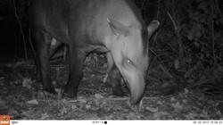 Tapirus terrestis