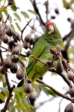Loro Pinero (Amazona tucumana) alimentándose de semillas de cedro.