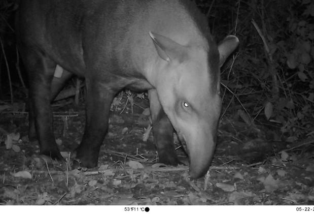 Tapir (Tapirus terrestris), Finca Yuchán.