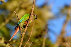 Chiripepé (Pyrrhura molinae) perchando.