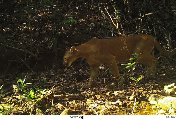 Puma (Puma concolor), Parque Nacional Calilegua.