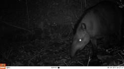 Tapir(1)