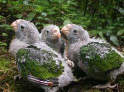 Pichones con plumas de las alas en desarrollo.