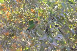 Chiripepé (Pyrrhura molinae) consumiendo flores de Duraznillo, un arbusto común en  bordes de cultiv