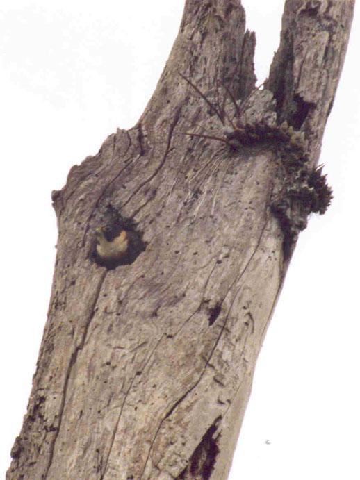 Nido F. rufigularis.