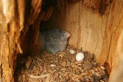 Pichón de loro alisero adentro del nido.