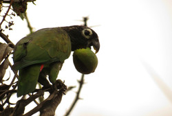 Loro maitaca (Pionus maximiliani) consumiendo fruto de mango.