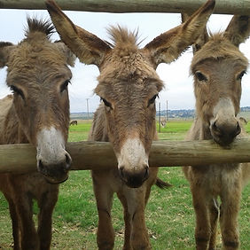 Donkey Foals For Sale