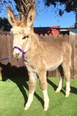 Sorrel Jenny Foal