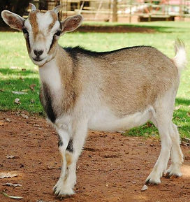 Nigerian Dwarf Goats for sale South Africa