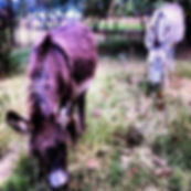 Donkeys for sale Gauteng