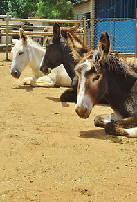 Donkeys for sale South Africa