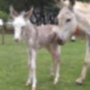 Spotted Donkey South Africa