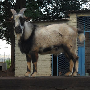 Dwarf Goats for Sale South Africa