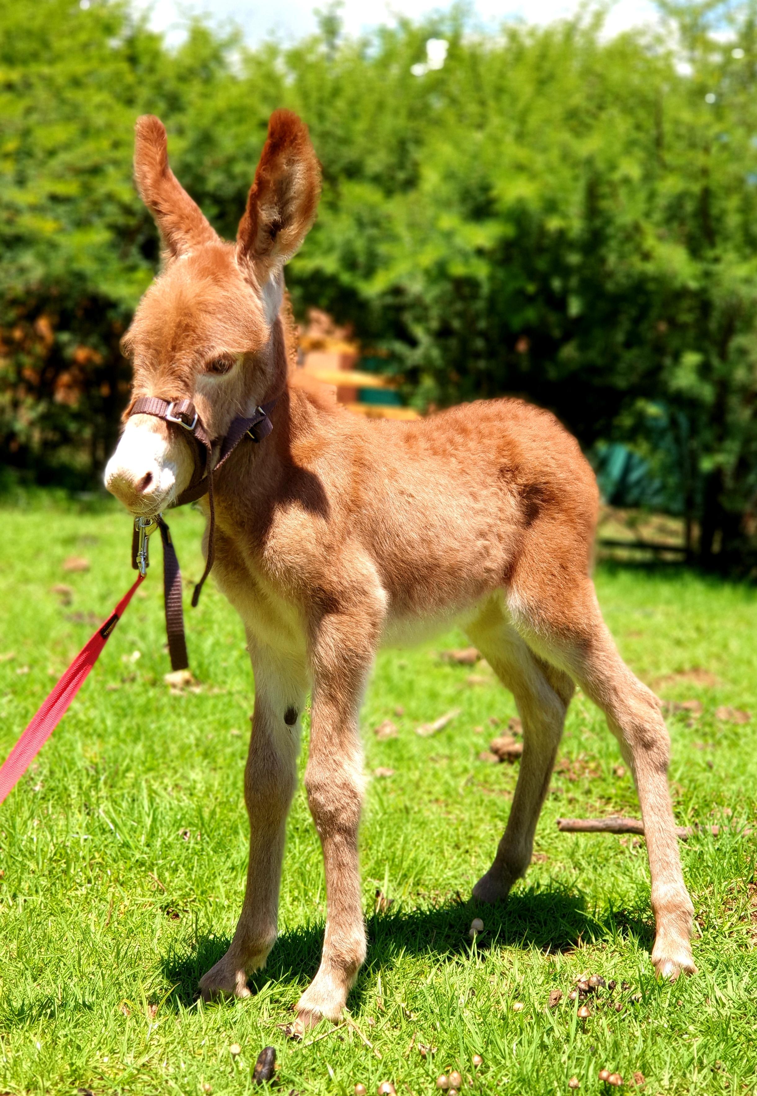 Sorrel Jack Foal