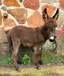Mini Jack Foal