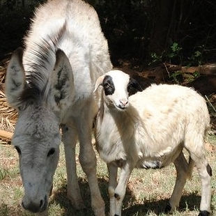 Donkey for sale Johannesburg