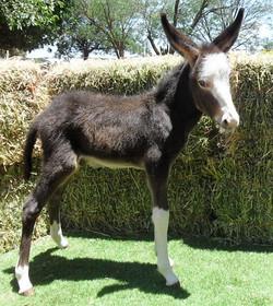 Dark Spotted Jack Foal