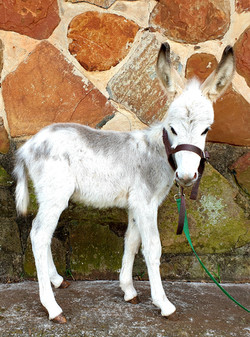 Small Breed Jack Foal