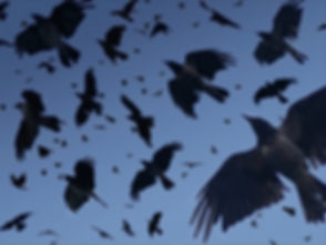 crows flight.jpg