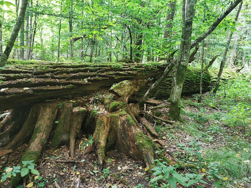 5.8.2020- Bělověžský prales