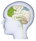 Early Child Brain Development