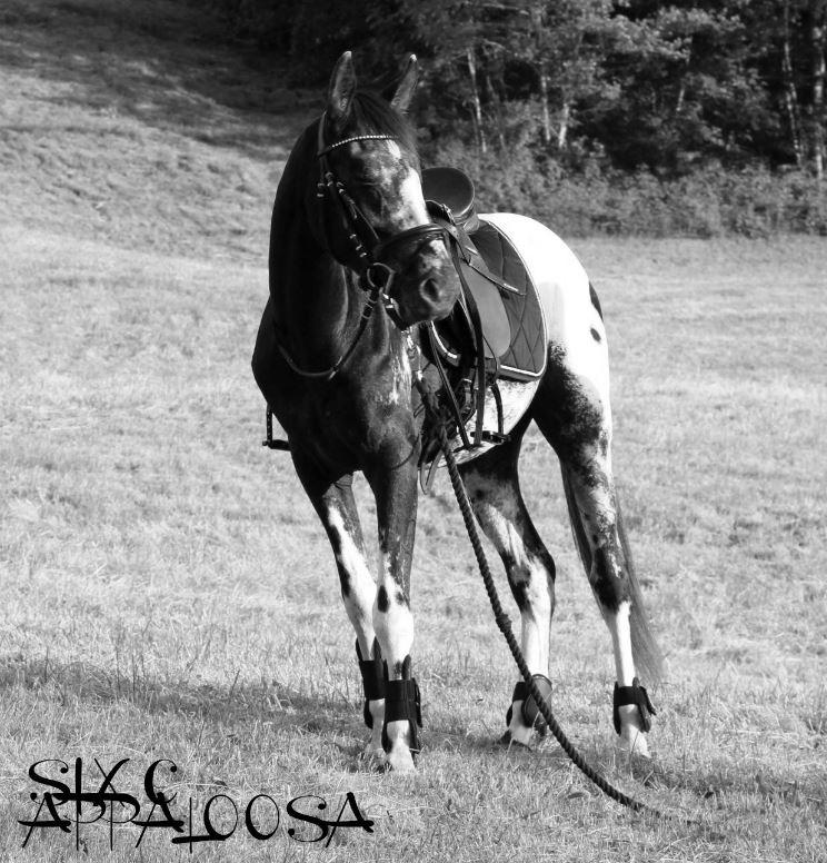 SIX C Appaloosa   Old-Line Appaloosa Sport Horsealoosa