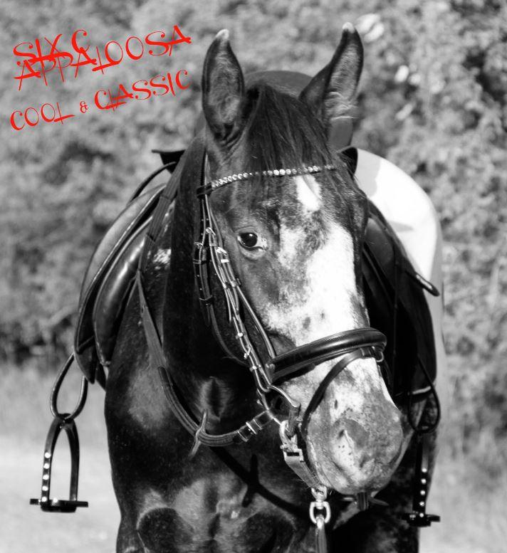 SIX C Appaloosa   Old-Line Appaloosa Sport Horse