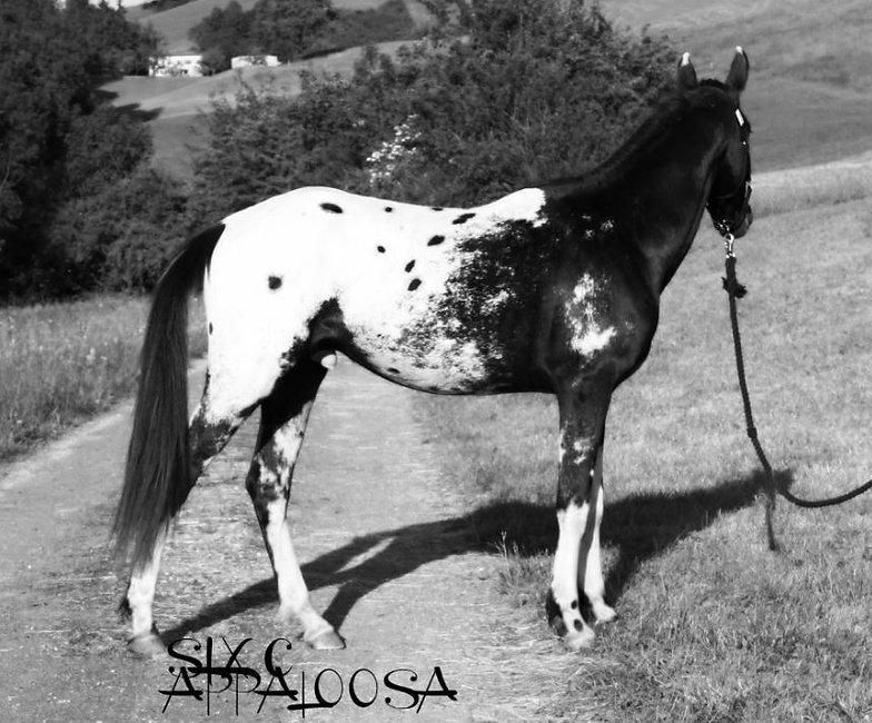 Old-Line Appalosa | Appaloosa Foundation | Appaloosa Sport Horse | Sportaloosa | By SIX  Appaloosa