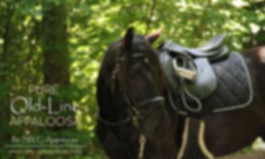 Old-Line Appaloosa & Appaloosa Sport Horse mit intensiver Appaloosa Foundation Basis by SIX C Appaloosa