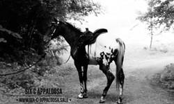 SIX C Appaloosa