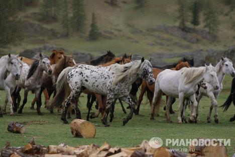 Appaloosa | Altai Pferde im Herzen der Goldenen Berge